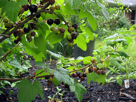 Currant, Black – Ribes nigrum