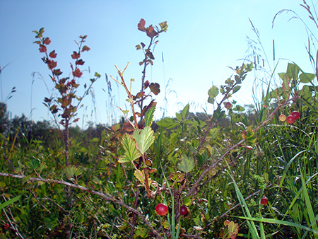 Gooseberry – Ribes uva-crispa