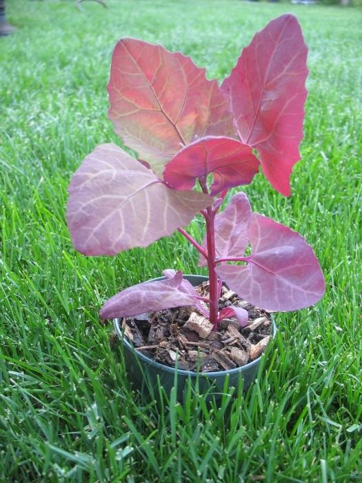 Orach, Red – Atriplex hortensis