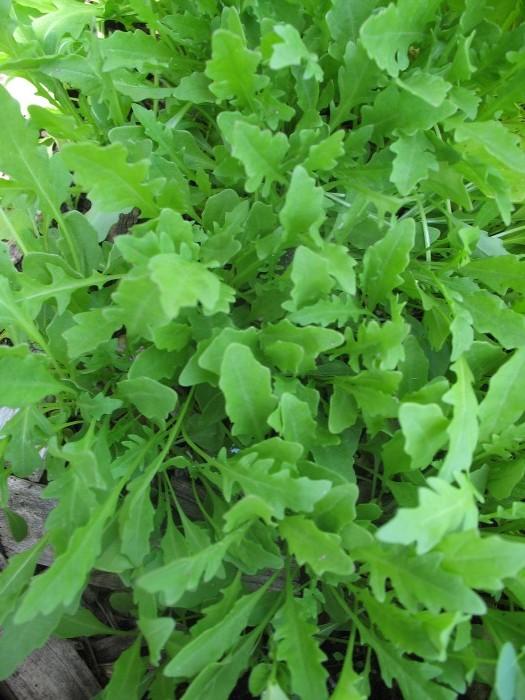 Perennial Wall Rocket – Diplotaxis tenuifolia