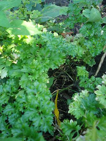 Parsley – Petroselinum crispum