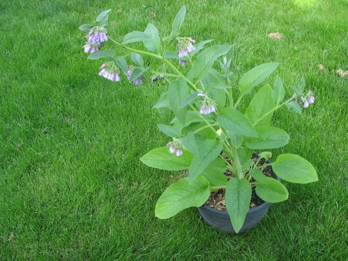 Comfrey, Russian 'Bocking 4′ – Symphytum x uplandicum